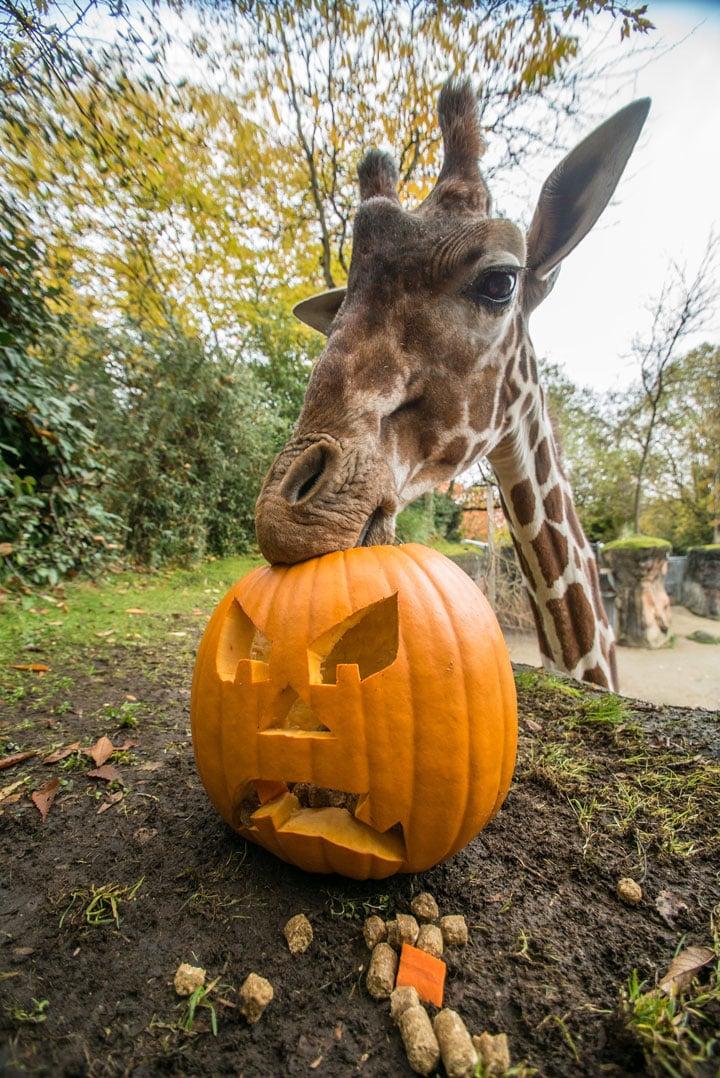 Oregon Zoo: Oregon Zoo Animals Get Pumpkin Treats Ahead Of 'Howloween