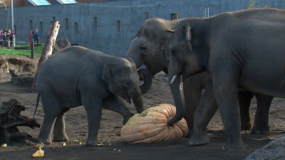 Elephants at the Oregon Zoo enjoy some pumpkin during the annual 'Squishing of the Squash' event.