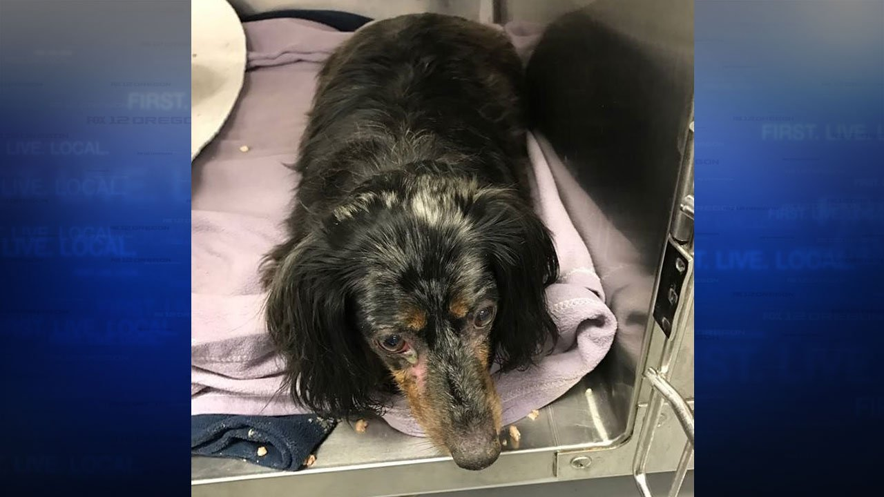 The Clark Co. Sheriff's Office report that Apache, an 11-year-old Dachshund stolen with a semi-truck and trailer, was found in Oregon, though the truck and trailer are still missing. (Clark Co. Sheriff's Office)