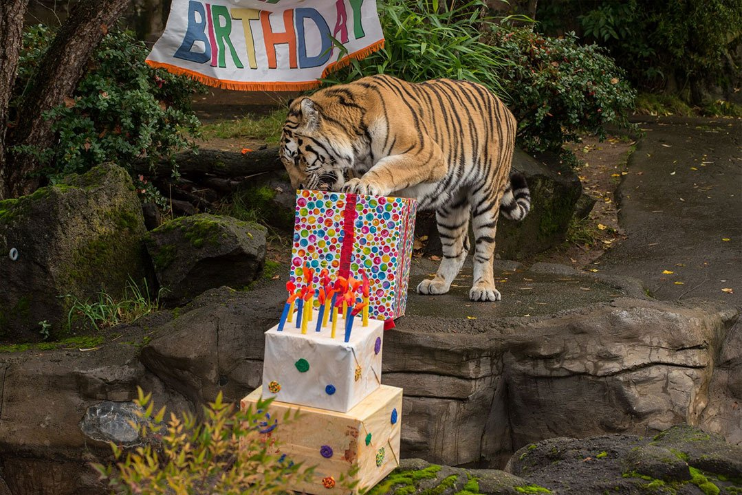 "Mikhail, the Oregon Zoo's Amur tiger, celebrated his 18th birthday with a party and ""carnivore"" treats. (Oregon Zoo)"