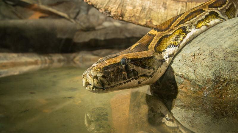Bubba the Oregon Zoo's Burmese python (Photo: Oregon Zoo)