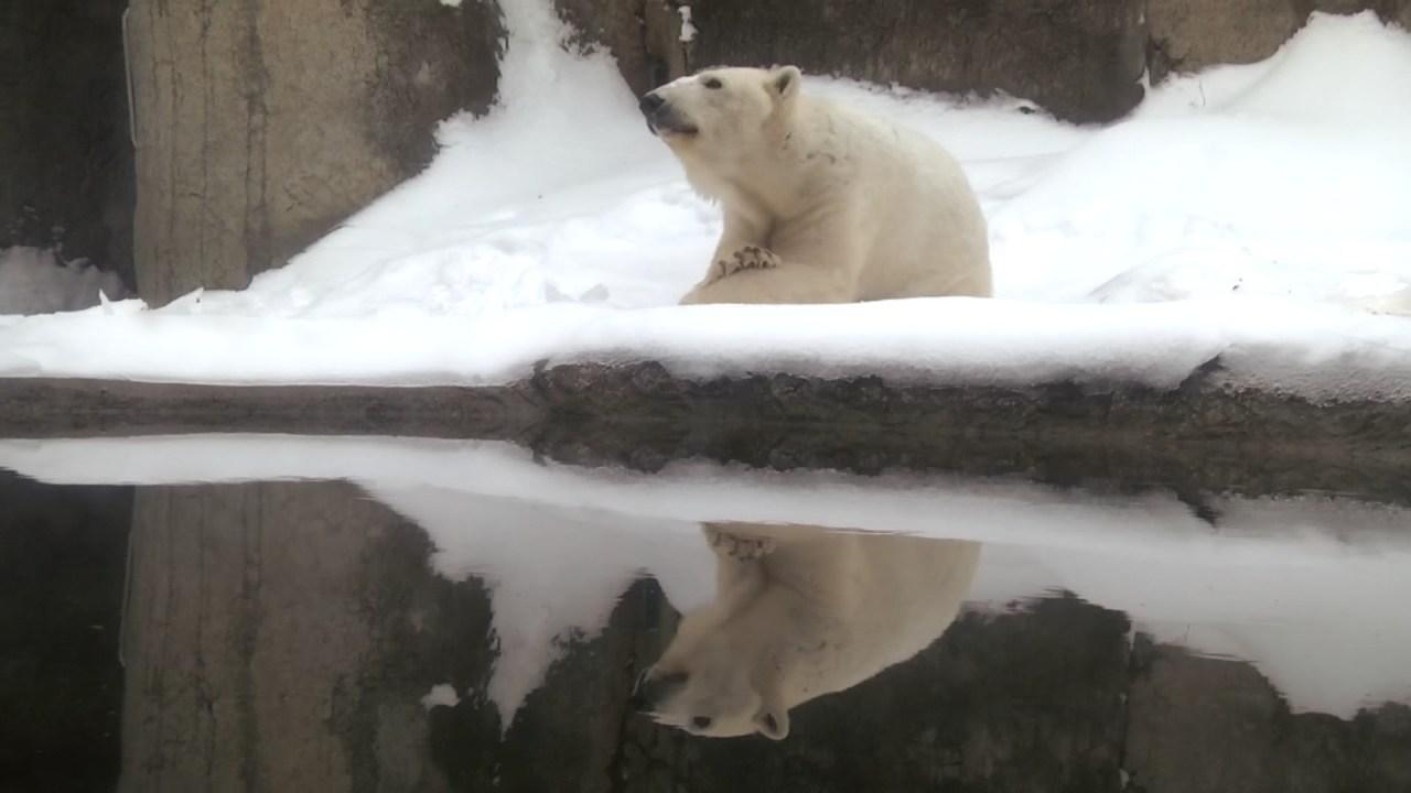 Polar bear Tasul (Image: Oregon Zoo)
