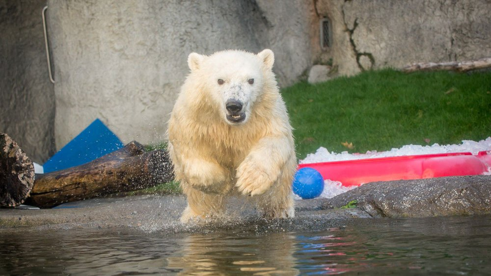 Nora, a year-old polar bear brought to the Oregon Zoo from Columbus, Ohio, is ready to make her public debut. (Oregon Zoo)