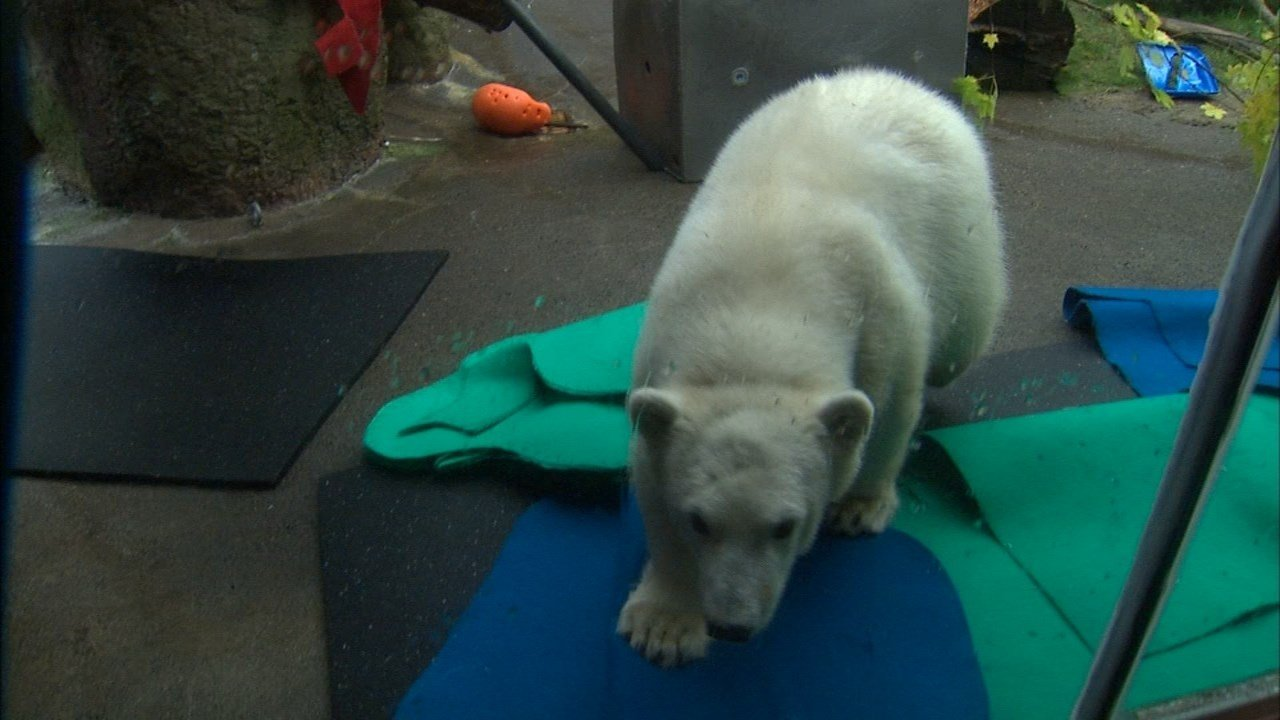Nora the polar bear is finally welcoming visitors at the Oregon Zoo. (KPTV)