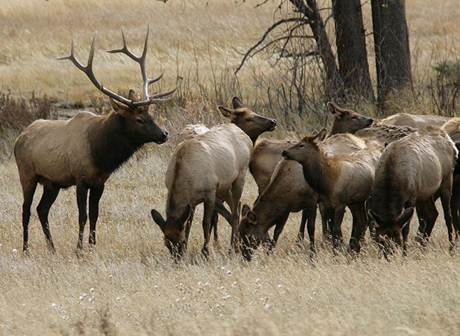 FILE - In this Oct. 1, 2006 file photo, a bull elk keeps a watchful eye on a herd of cow elk in Rocky Mountain National Park near Estes Park, Colo. (AP Photo/David Zalubowski, File)