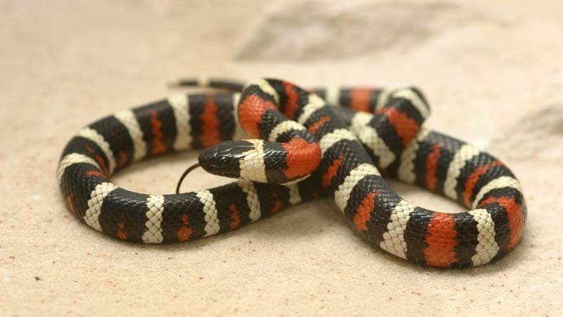 California mountain kingsnake from Oregon. Photo: USFWS