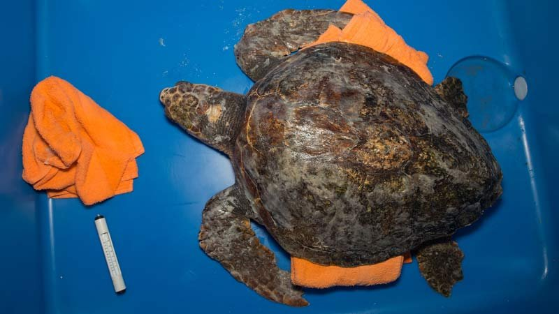 Loggerhead sea turtle found stranded at Ecola State Park on the Oregon Coast over the weekend. (Photo: Oregon Coast Aquarium)