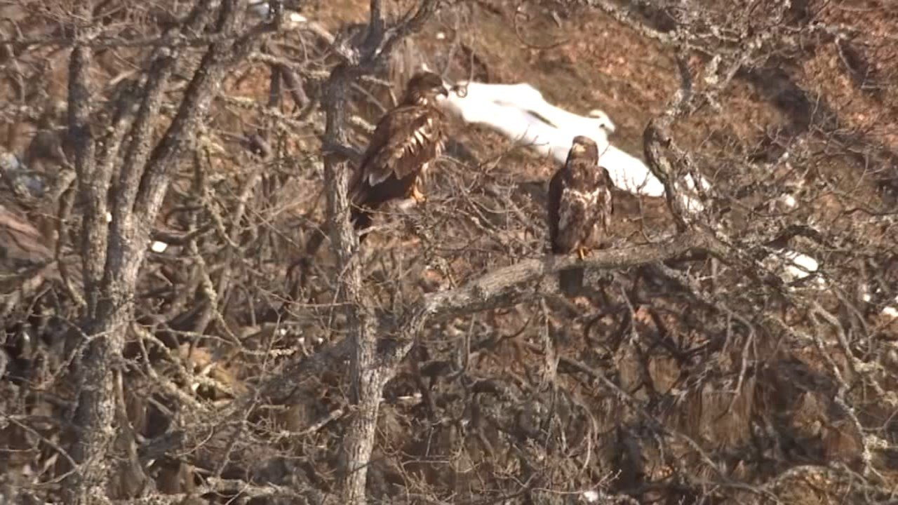 Young eagles don't yet have the tell-tale white head and neck that mature bald eagles do. (KPTV)