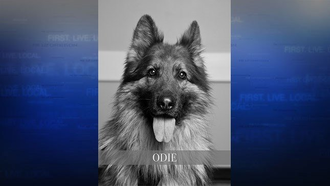 K-9 Odie (Courtesy: Hillsboro Police Department)