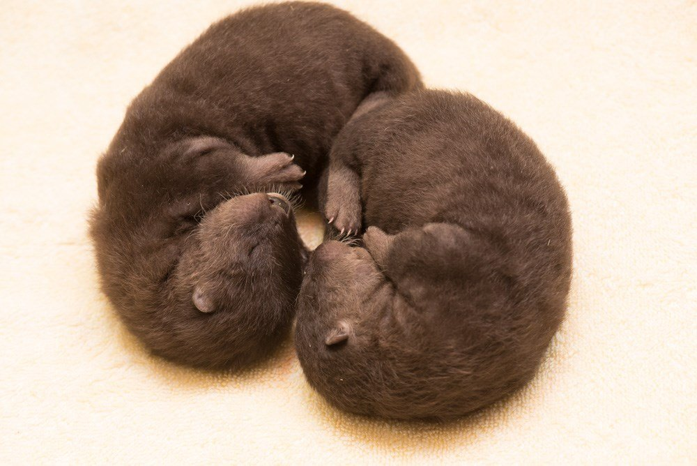Tilly, an American river otter, is raising two pups at the Oregon Zoo. Keepers are inviting the public to weigh in on names for the 4-week-olds pups. Photo by Michael Durham, courtesy of the Oregon Zoo.
