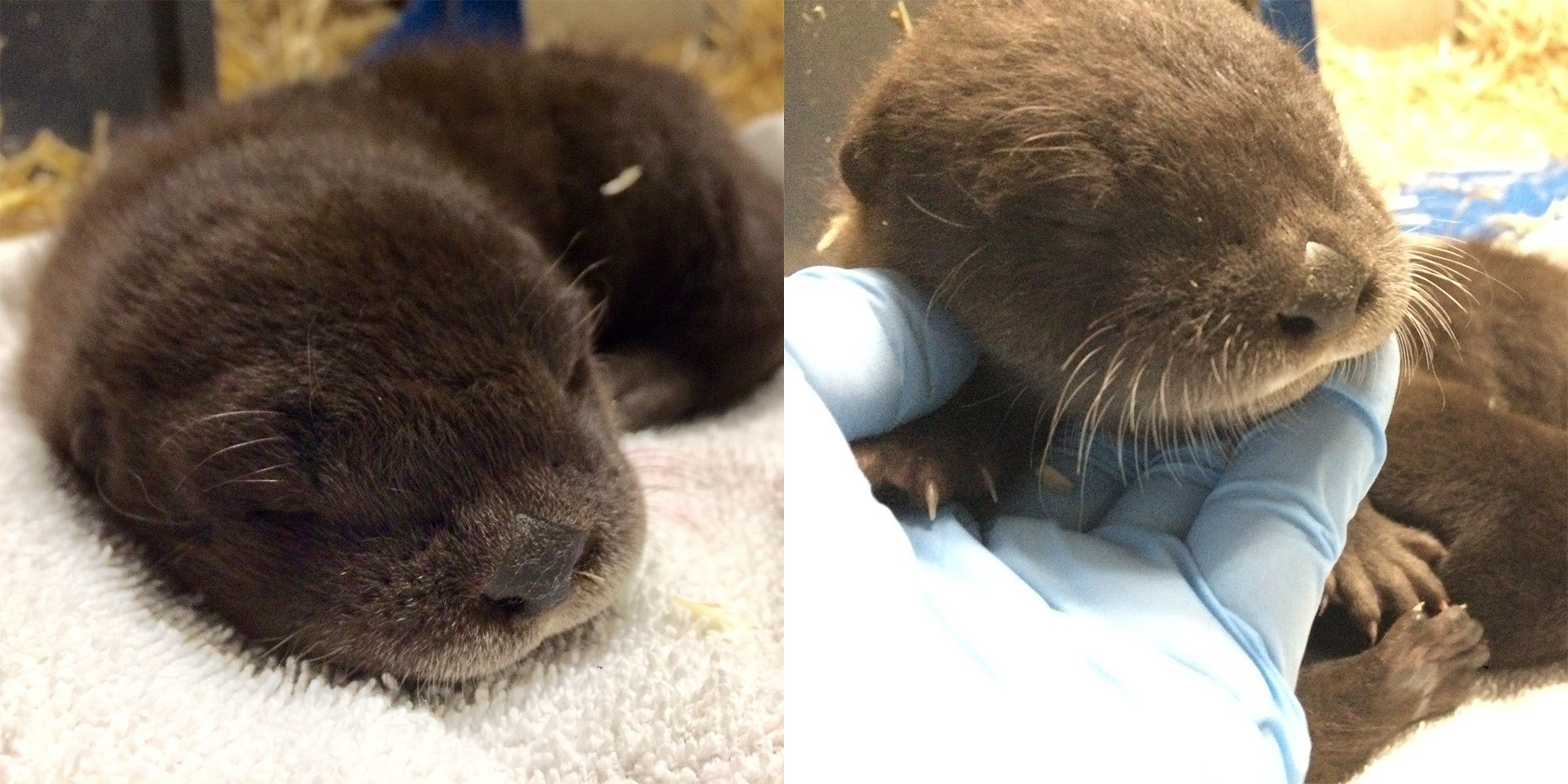 Oregon Zoo keepers are inviting the public to weigh in on names for two 4-week-old river otters — one male (left) and one female — seen here during a recent health check-up. Photo by Celess Edinger, courtesy of the Oregon Zoo.