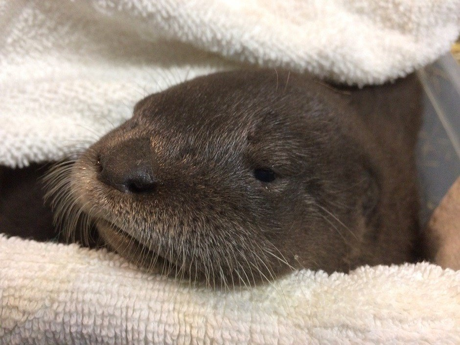 River otter pup Nellie (Courtesy: Oregon Zoo)