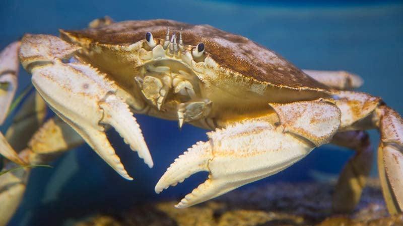 Rare white Dungeness crab at the Oregon Coast Aquarium. (Photo: Oregon Coast Aquarium)