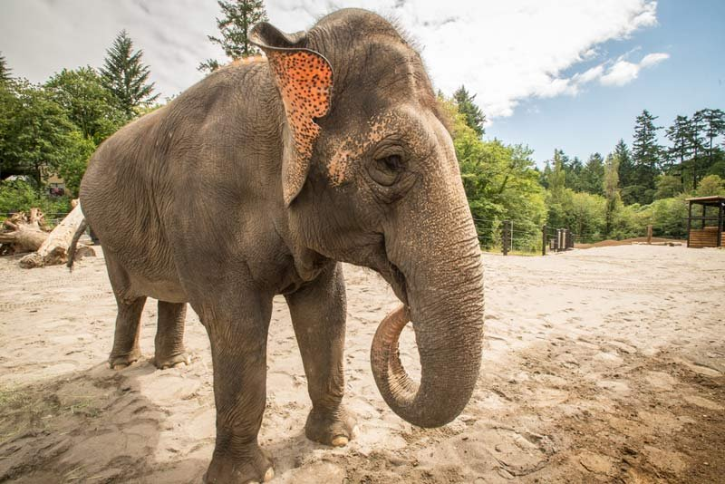 Veterinarians are preparing a treatment regimen for Sung-Surin, a 34-year-old Asian elephant at the Oregon Zoo. Photo by Michael Durham, courtesy of the Oregon Zoo.