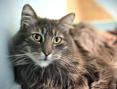 Duke of Sampsononiah, an eight-year old male cat, became available for adoption at OHS earlier this week.