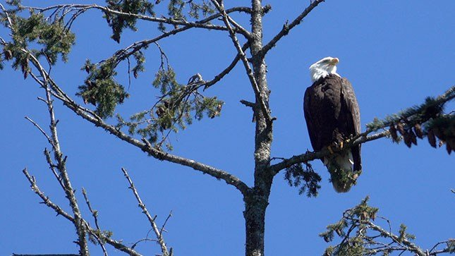 A wild bald eagle perches in a tree above the Oregon Zoo Wednesday. (Photo courtesy: Michael Durham / Oregon Zoo)