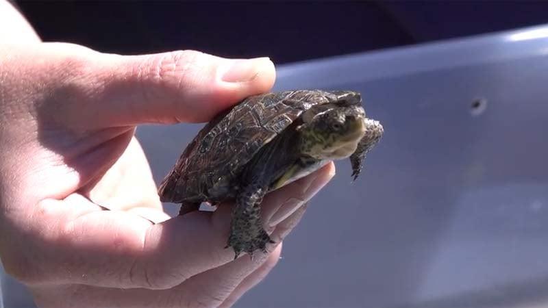 Western pond turtle (Image: Oregon Zoo)