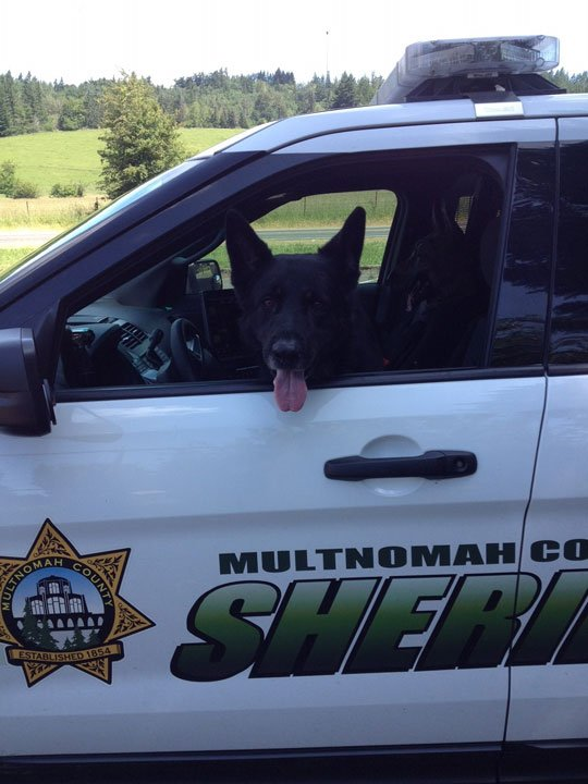 Multnomah Co. Sheriff's Office K-9 Ranger (Multnomah Co. Sheriff's Office)
