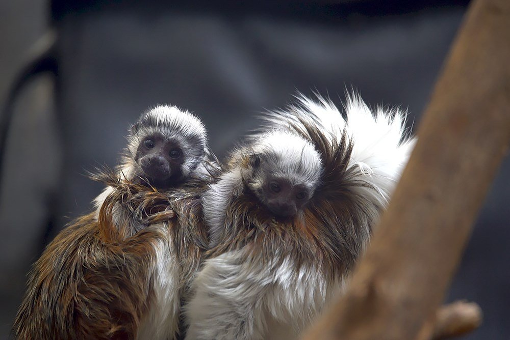 A pair of critically endangered cotton-top tamarins born at the Oregon Zoo last month can now be seen in the Fragile Forests area, riding on the backs of their mom and dad. Photo by Michael Durham, courtesy of the Oregon Zoo.