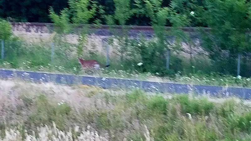 Witness photo released by Tigard Police Department of a cougar wandering in Tigard.