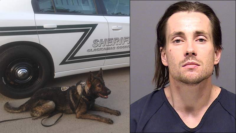 Photo of Beaverton Police Department K-9 Toa in front of a Clackamas County Sheriff's Office car after a suspect was caught in Wilsonville. On right, jail booking photo of Nicholas Swisher.