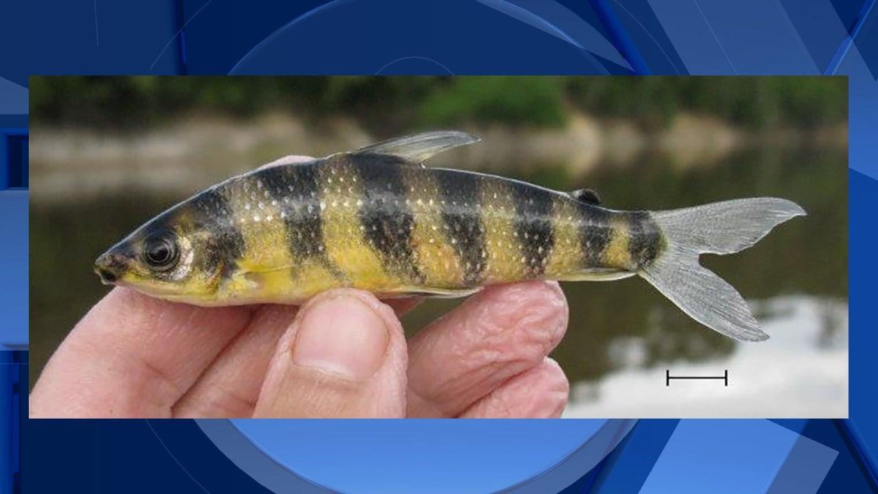 Leporinus enyae, courtesy Oregon State University.