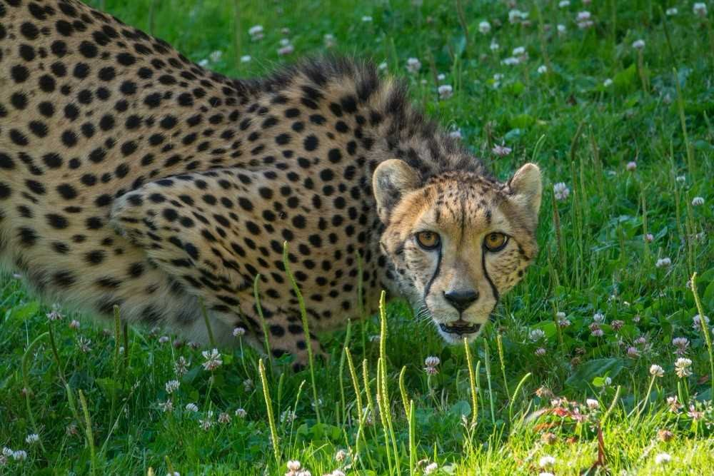 Darlene, one of two new cheetahs at the Oregon Zoo, explores her Predators of the Serengeti habitat. Photo by Michael Durham, courtesy of the Oregon Zoo.