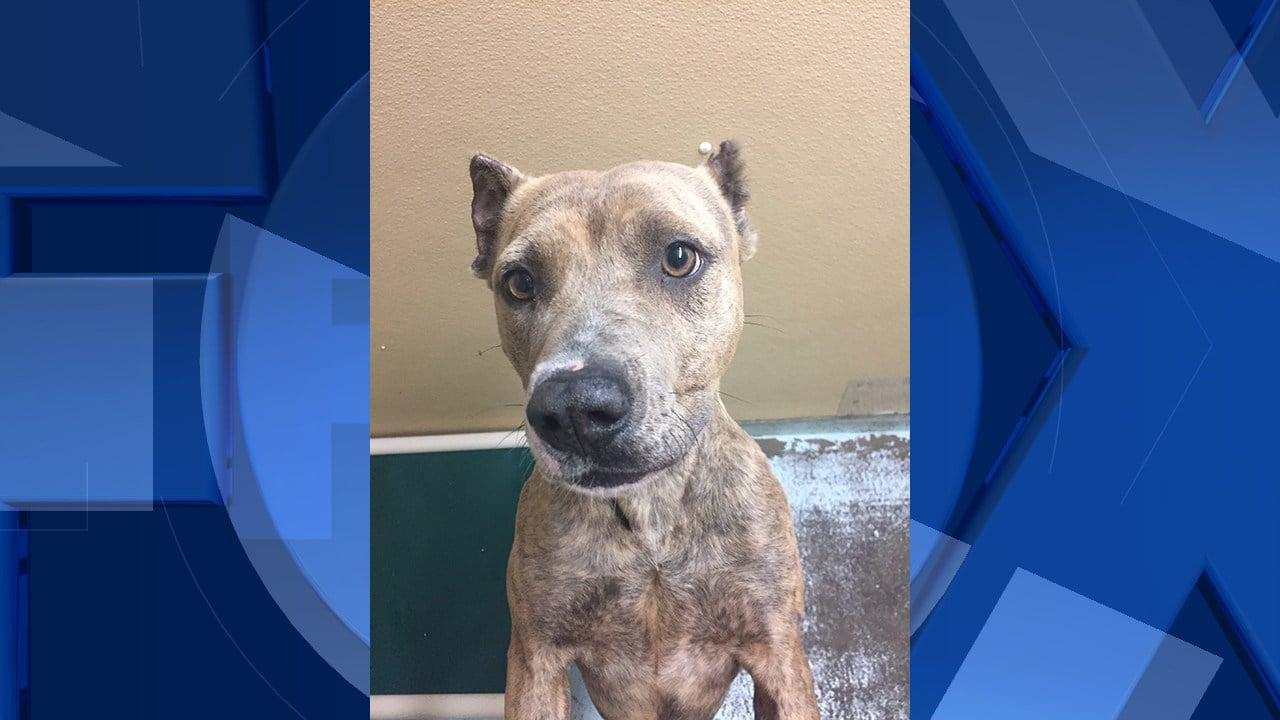 Amber the dog, post-treatment. Courtesy Oregon Humane Society