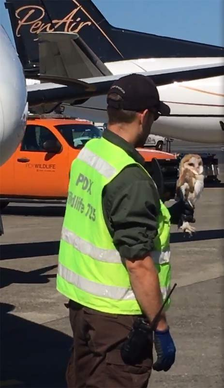 Owl found in nose wheel well of plane at Portland International Airport. (Image courtesy: Travis Long, PenAir)
