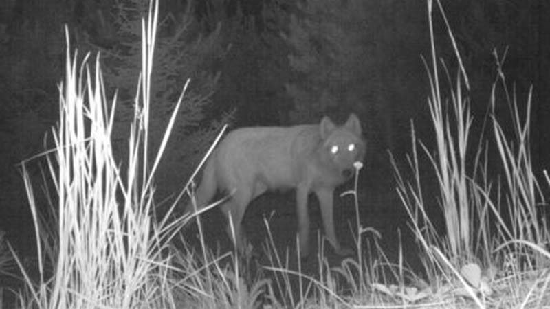 Oregon wolf file image (ODFW)