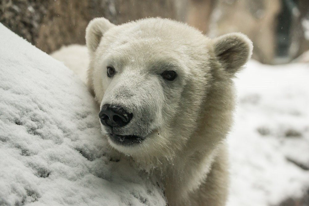 Nora plays in the snow at the Oregon Zoo earlier this year. Photo by Shervin Hess, courtesy of the Oregon Zoo.