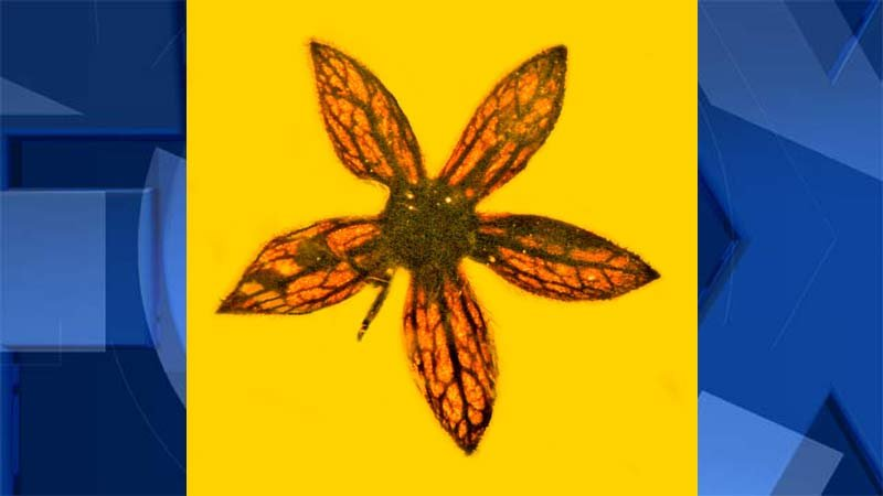 100-million-year-old fossilized flower identified and named by OSU researchers George Poinar Jr. and Kenton Chambers. (Image: OSU)