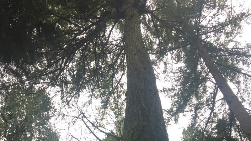 Current tree in Powell Butte area. (Photo: PSU)