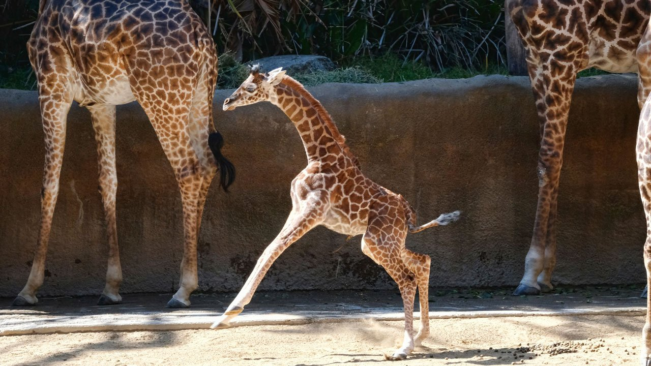 A female Masai baby giraffe born July 11, frolics in her enclosure during its public debut at the LA Zoo, Wednesday, July 26, 2017. Still without a name, the giraffe already stands about six feet tall and weighs 156 pounds. (AP Photo/Richard Vogel)