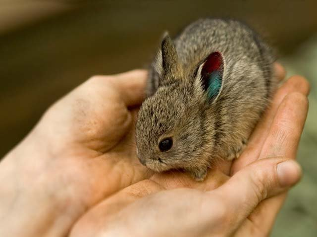Pygmy rabbits released...