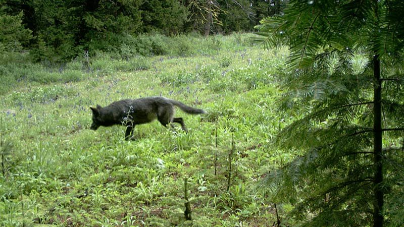 File image of a wolf in eastern Oregon (Photo: Oregon Department of Fish and Wildlife)