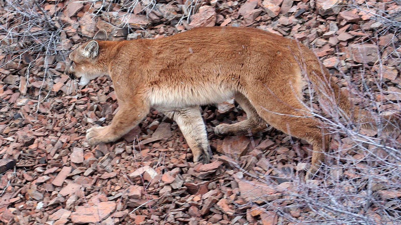This March 8, 2006 photo provided by the ODFW shows a cougar in the Beulah Wildlife Management Unit in Malheur County. (Brian Wolfer/Oregon Department of Fish and Wildlife via AP)