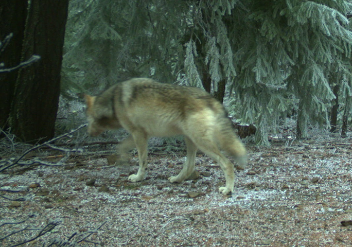 Documentation of wolves near oregon 39 s mt hood new for Oregon fish and wildlife