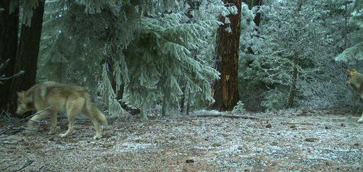 (Oregon Department of Fish and Wildlife)