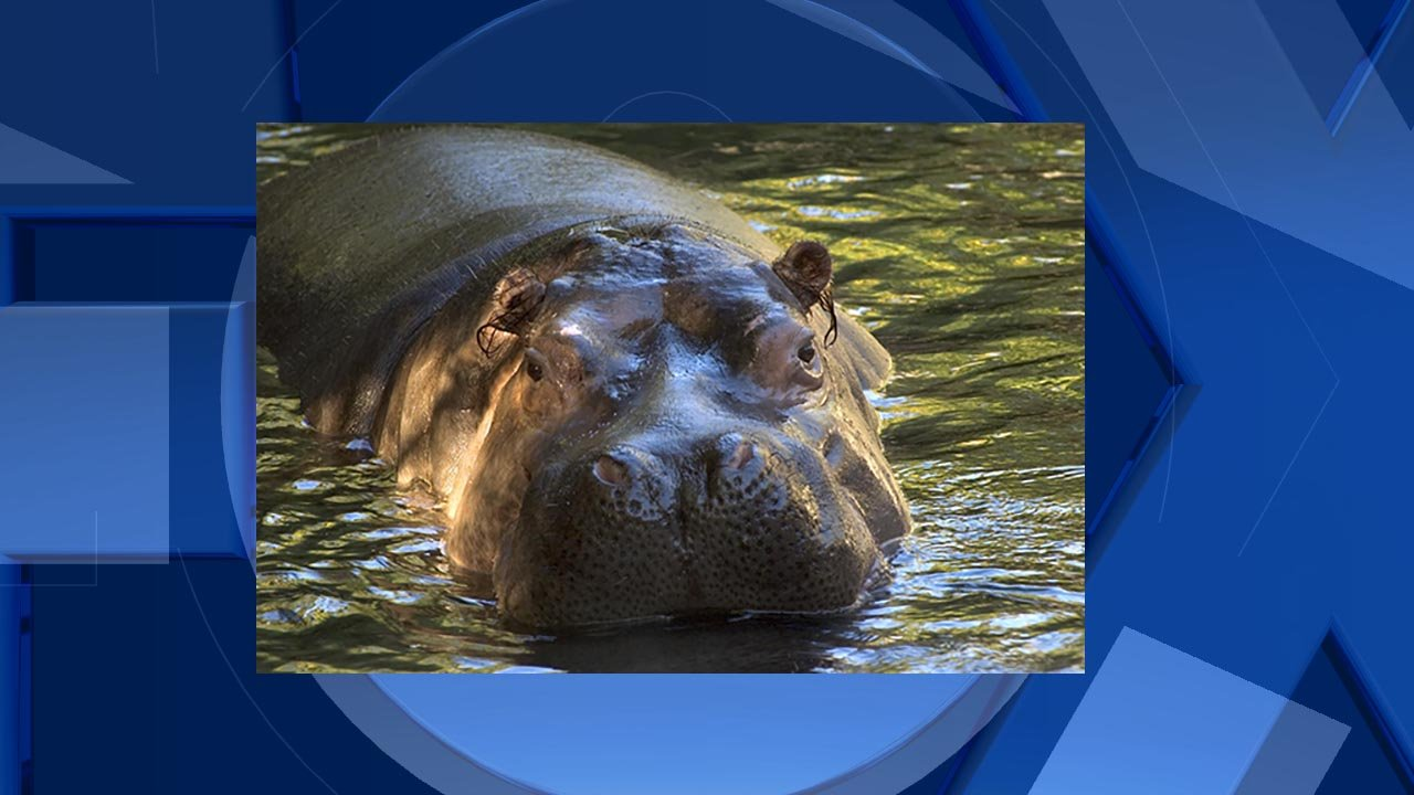 Bubbles the hippo enjoys a swim at the Oregon Zoo. (Photo by Michael Durham, courtesy of the Oregon Zoo)