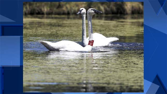Chuck, a trumpeter swan, was shot and killed in Sunriver last November. (Photo provided by Oregon State Police)