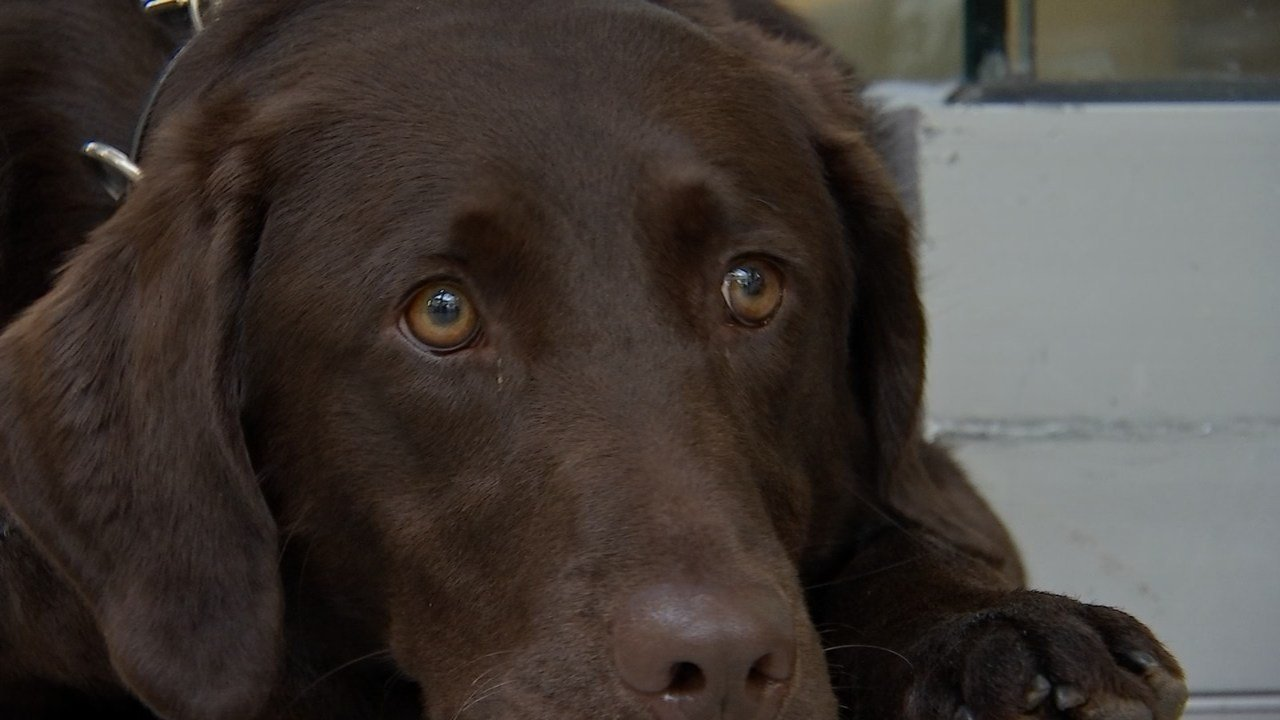 Bolt, a rescue dog, helps his owner concentrate and feel less stressed. (KPTV image).