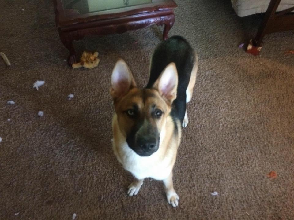 Thor the missing dog (Image courtesy OSP)