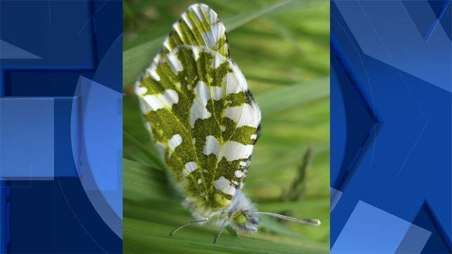 This undated photo provided by the US Fish and Wildlife Service shows the island marble butterfly. Federal wildlife officials want to protect the rare white and green butterfly found only on Washington's San Juan Island. The U.S. Fish and Wildlife Service