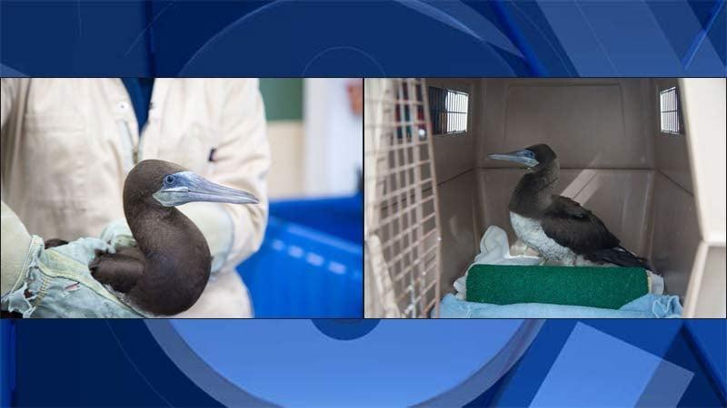 Brown booby bird rescued on Oregon coast. (Photos: Oregon Coast Aquarium)