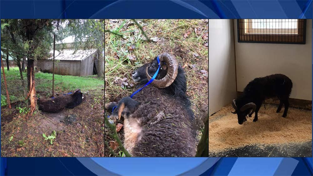 Photos of abandoned ram, on left and center, and a photo of the ram after receiving care, on right. (Photos: Clackamas County Sheriff's Office)