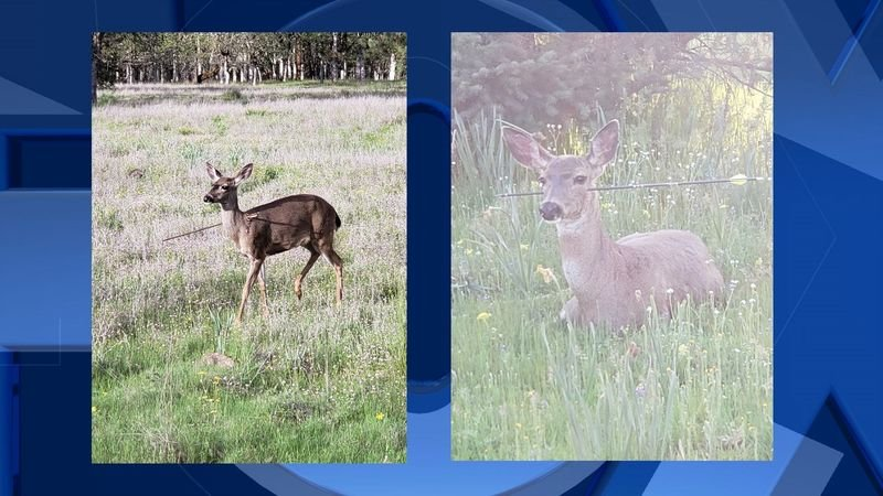 Deer Shot With Arrow Now Recovering