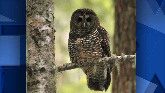Northern spotted owl (file photo)