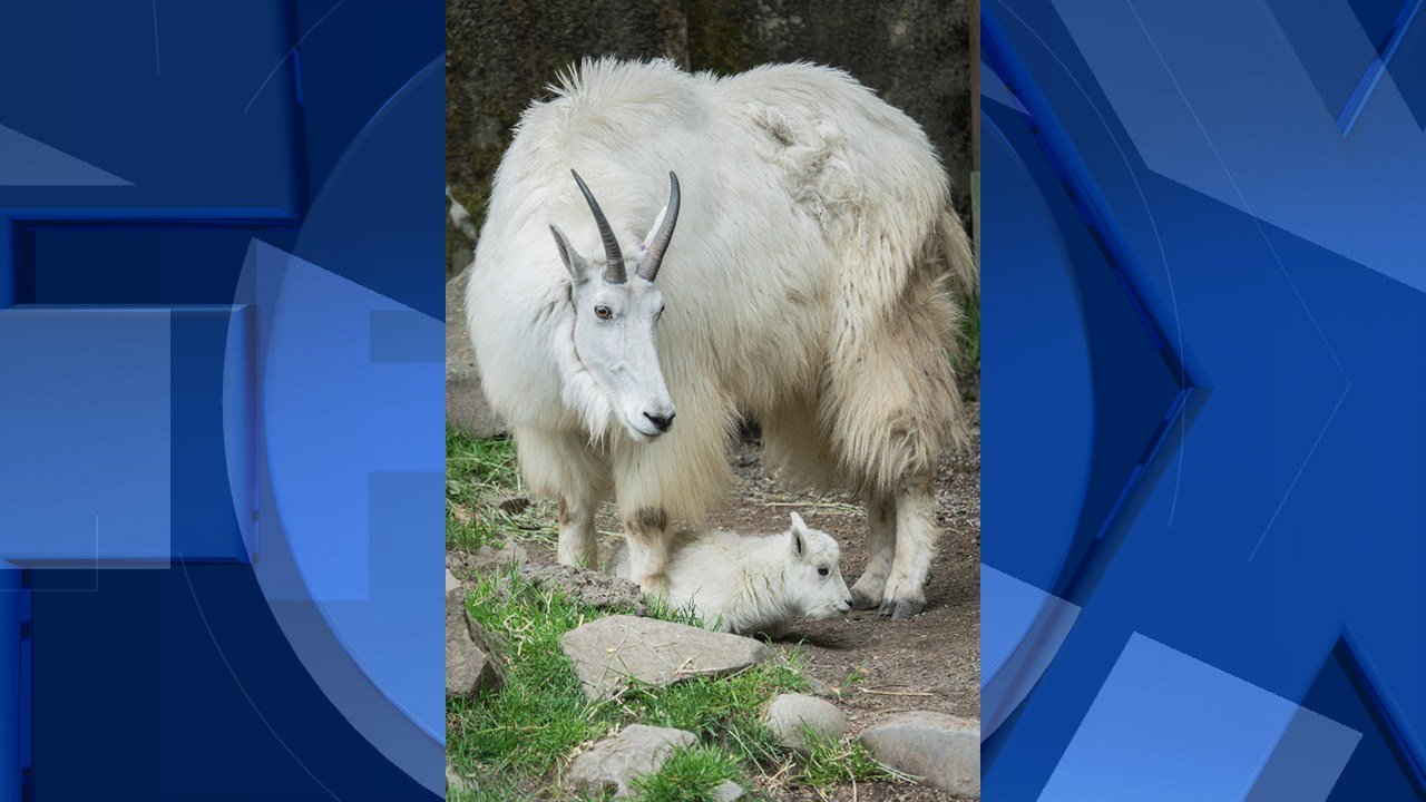 Oregon Zoo mountain goat Sassy and her 2-day-old kid can be seen at the zoo's Cascade Crest habitat, just past the main entrance. Photo by Kathy Street, courtesy of the Oregon Zoo.
