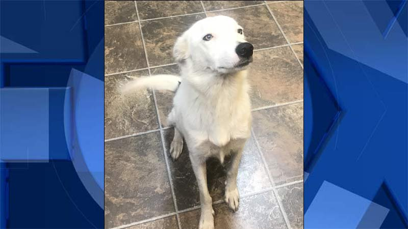 Djunga, a 3-year-old border collie, taken in by police after being left in a hot car in Junction City. (Photo: Junction City PD)